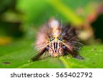 Close Portrait Of Hairy Moth...