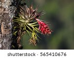 Tropical Epiphyte With Blossom...