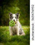 Stock photo little adorable cute blue merle border collie puppy sitting with ball in the green park 565476952