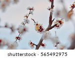 beautiful blooming tree  ... | Shutterstock . vector #565492975