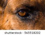 Close Up Of German Shepherd...