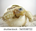 close up baby tortoise hatching ... | Shutterstock . vector #565538722