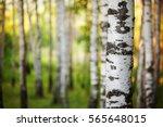 Birch Forest In Sunlight In The ...