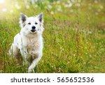 Stock photo white fluffy dog runs across the field 565652536