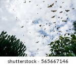 flying dogs  bat in ruanda ... | Shutterstock . vector #565667146