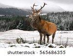 Red Deer On Snowy Meadow In...