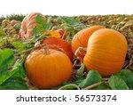 Pumpkin Plants With Rich...