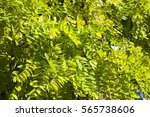 Small photo of Sap green leaves background.