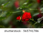 Stock photo beautiful roses in garden on soft light background roses for valentine day 565741786