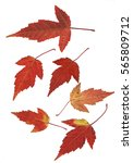 Small photo of River maple (Acer ginnala) leaves in autumn color isolated on white