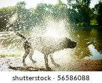 Labrador Shaking Water Off Its...