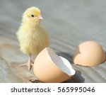 Small Yellow Chick Hatched Fro...