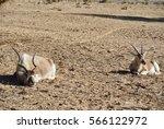 Addax  Addax Nasomaculatus  In...