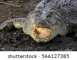 Saltwater crocodile lying on the riverbank with open mouth, Yellow Water, Kakadu National Park, Australia