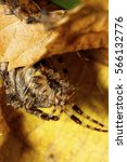 Small photo of Macro fluffy Caucasian spider Araneus entrenched in the shelter and pursed her legs curled under yellow leaf