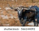 longhorn steer with long horns... | Shutterstock . vector #566144092
