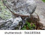 Eastern Fence Lizard Resting O...