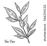 tea tree hand drawn botanical... | Shutterstock .eps vector #566254132