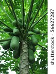 Papaya Tree With Green Papayas.