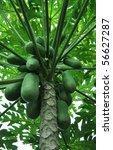 Papaya Tree With Green Papayas.