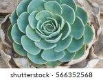 beautiful natural succulents... | Shutterstock . vector #566352568