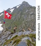 Ibexes and a swiss flag in the Swiss mountains