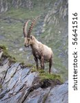 Ibex in the Swiss mountains