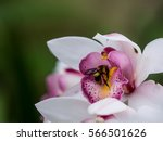 Orchid Bees
