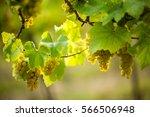 Ripe White Grapes In The...