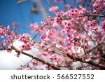 Wild Himalayan Cherry With Blue ...