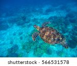 Small photo of Sea turtle in blue water above sand seabottom. Tropical sea nature of exotic island. Olive ridley turtle in blue sea water. Green tortoise in tropical lagoon. Underwater photo of cute marine animal