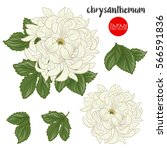 Chrysanthemum Flowers. Stock...