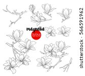 Branch of magnolia blossoms. Stock line vector illustration botanic flowers. Outline drawing.