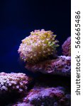 Small photo of Sea aquarium tank with nice Actiniaria