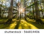 Sun Ray Coming Through Pine...