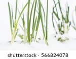 Small photo of Green onion plant sprouting through the snow in winter. Symbol of spring. Staying power concept. Never give up. Stay strong. winter-hardy plant. Winter green vegetable in garden.