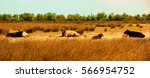 a family of cows sunbathing in... | Shutterstock . vector #566954752