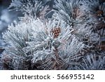 Conifer Cone Of A Frozen Pine...