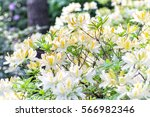 blooming rhododendron in the... | Shutterstock . vector #566982346