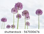 Purple Allium Globemaster Plan...