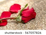 Red Rose For You Select Focus