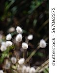 """Small photo of Fluffy """"Bunny Tail"""" Grass"""