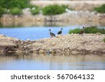 Small photo of Sunda Teal (Anas gibberifrons) in Bali Barat National Park, Bali island, Indonesia