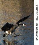 Canada Geese Landing On Lake