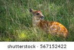 Baby Nyala Antelope Hiding In...