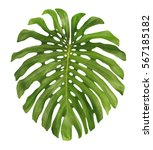 large exotic jungle leaf ... | Shutterstock . vector #567185182