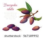 vector illustration of fruit... | Shutterstock .eps vector #567189952