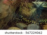 Small photo of Tiger salamander, Ambystoma tigrinum, in a terrarium habitat with water.