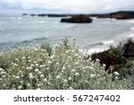 White Bushes Of Wildflowers On...