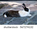 Stock photo black and white rabbit in grass 567274132